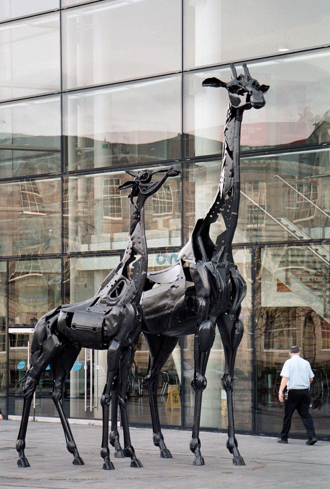 A Giraffes
