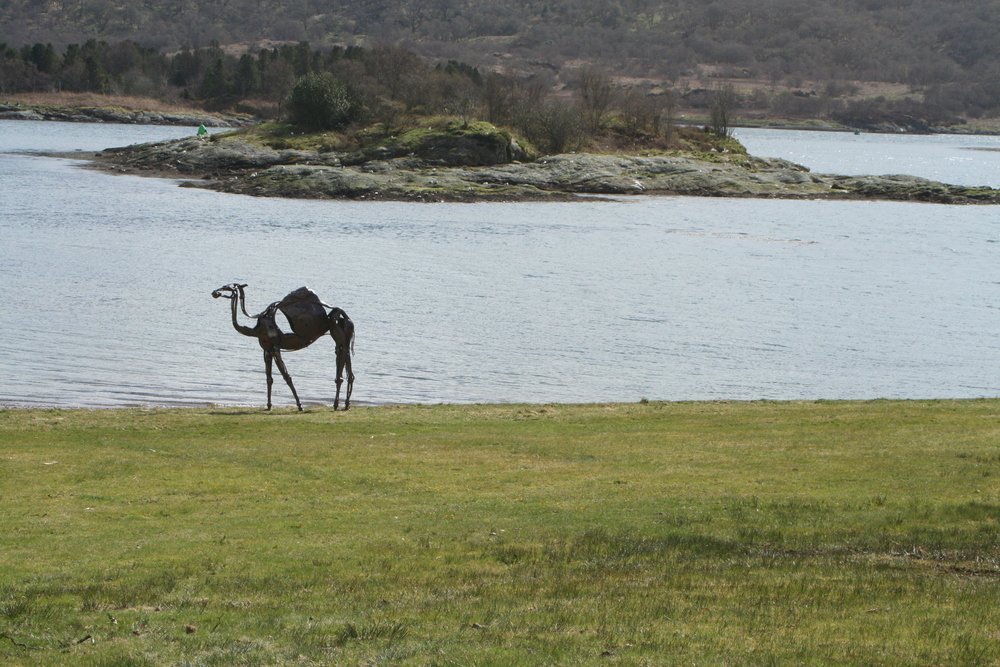 camel at Caol ruadh